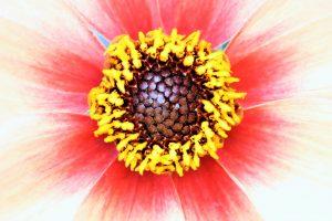 detailfoto kern rode bloem