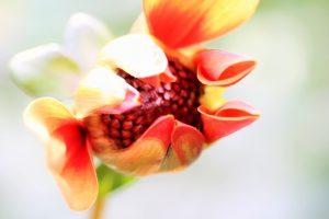 detailfoto geel en rode bloem