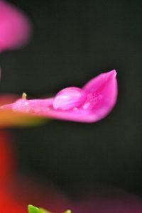 druppel op roze bloemblad