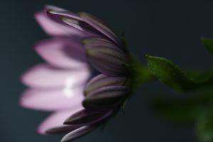 paarse bloem closeup