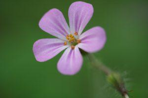paarse bloem groene achtergrond